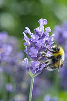 Bee on Lavandula angustifolia 'Lavender Haze'