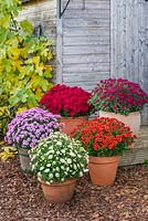A collection of 'Jogger' spray chrysanthemums in containers in autumn with Fig 'Brown Turkey' in background.