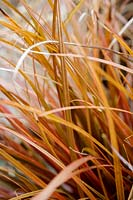 Uncinia rubra - Red Hook Sedge