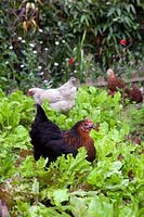 Hens in urban back garden eating lettuce