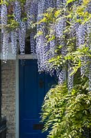 Wisteria floribunda growing above a front door