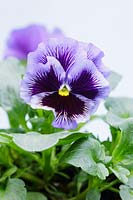 Viola 'Frizzle Sizzle' Mixed, March