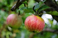 Malus ' Worcester Permain' - English apple, August