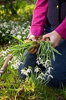 Dividing and separating Galanthus nivalis snowdrops, March