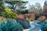 The winter garden with frost. Cambridge Botanic Gardens. January. Berberis x wilsoniae, Ozothamnus leptophyllus 'Ward Silver', Mahonia x media 'Winter Sun', Salix alba var. vitellina 'Britzensis'.
