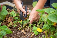 Tidying up strawberry plants afrter they have fruited. Cutting off old leaves. July
