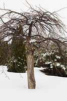 Ulmus glabra 'Camperdownii - Elm tree in backyard garden in winter, Les Jardins de la Vieille Mansarde garden, Quebec, Canada.