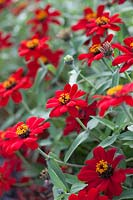 Zinnia 'Profusion Red', August.