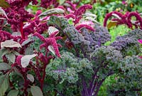 Amaranthus paniculatus 'Red Fox' with Kale 'Redbor'