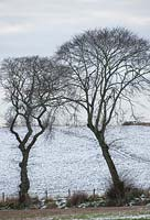 Ulmus glabra - Wych elm trees with snow covered fields, Easter Ross, Scotland, January.