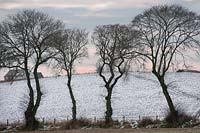 Line of Ulmus glabra - Wych elm trees and fields, Easter Ross, Scotland, January.