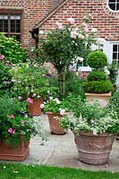 Terracotta pots on York stone terrace filled with Annuals, Fuschia, Pelargoniums, Agapanthus foliage and Buxus - Box - topiary. In borders by house,  'Rosa 'Crocus',  Rosa mutabilis,  Hydrangea 'Annabelle', Astrantia major.