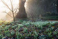 In a woodland glade at Colesbourne Park, dawn light filters from behind an old lime tree, highlighting carpets of snowdrops and Cyclamen coum.