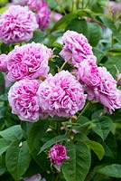 Rosa 'La Ville de Bruxelles' an old Damask rose with multi petalled, rich pink flowers.