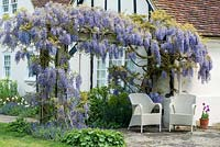 A patio seating area beneath a mature Wisteria sinensis growing over a wooden pergola.