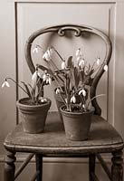 'Black and White' chair with planted Galanthus 'Bill Bishop', 'David Shackleton' and 'Elwesii warwickshire Gem', Warwick, February.