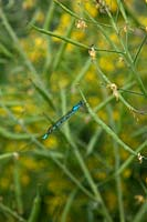 Common Blue Damselfly - Enallagma cyathigerum resting on Brassica rapa var. japonica -- Mizuna being grown to save the seed