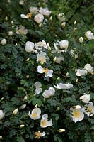 Rosa spinosissima 'Dunwich Rose'