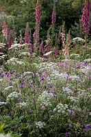Chaerophylum temulum - Rough Chervil with Digitalis purpurea and Geranium 'Orion' and Geranium 'Blue Cloud'