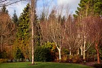 The winter garden at RHS Rosemoor with Populus tremula 'Erecta' on left and a group of Betula utilis var. jacquemontii 'Silver Shadow' AGM on right with an Acer davidii 'Serpentine' in their centre