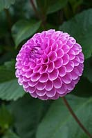 Dahlia 'Westerton Folly'