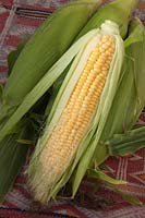 Freshly picked Sweetcorn, Corn on the Cob, Maize