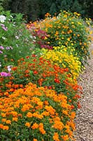 Compact varieties of Cosmos in the Plant Trials at RHS Gardens, Wisley, Surrey. 2016 was named the year of the Cosmos.