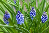 Muscari azureum 'Bling Bling'- Grape Hyacinth flowering in spring