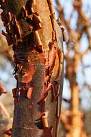 Acer griseum - Paperbark Maple - peeling tree bark