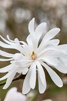 Magnolia stellata 'King Rose'
