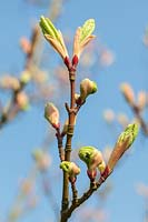 New foliage of Acer x conspicuum 'Candy Stripe' emerging from leaf buds in spring