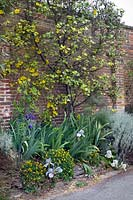 Fremontodendron californicum (California flannelbush) growing against a wall with irises, cotton lavender and yellow corydalis
