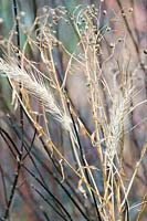 Elymus canadensis and Pycnanthemum tenuifolium (Narrowleaf mountain mint) seedheads in winter