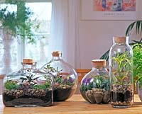 Bottle garden: Selaginella, DRACAENA, Pilea,