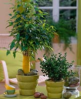 Ficus benjamina 'Baroque' and 'Exotica' - rubber trees,