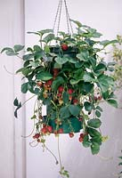Strawberries ( Fragaria ) in Flower Tower, hung as a hanging