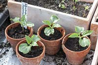 Young plants of Thunbergia alata ( black-eyed Susan ) in clay pots