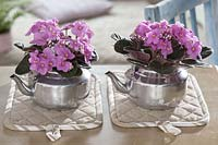 Saintpaulia ionantha ( African violet ) in silver kettles as a planter