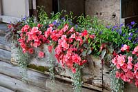 Windowbox with Begonie, Euphorbia, Lobelia