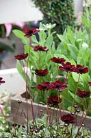 Cosmos atrosanguineus Chocolate