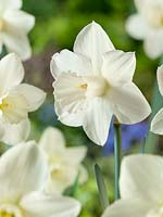 Narcissus Large Cupped Desdemona