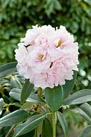Rhododendron Queen Anne's