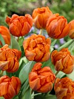 Tulipa Triumph Hermitage and Tulipa Double Late Orange Princess