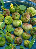 Physalis philadelphica Purple de Milpa