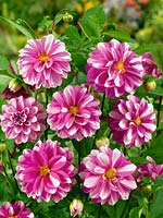 Dahlia Miscellaneous Priceless Pink