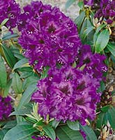 Rhododendron Purple Splendour