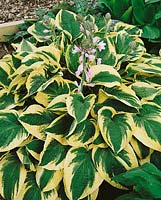 Hosta Wide Brim
