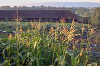 Barleywood Walled Garden, Wrington, Somerset, UK. Late summer in large organic vegetable garden with views across Somerset. Maize ( Sweetcorn ) patch