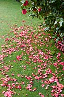 Camellia 'Donation' fallen petals on grass lawn