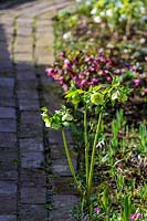 Hellebore in spring at edge of a brick path